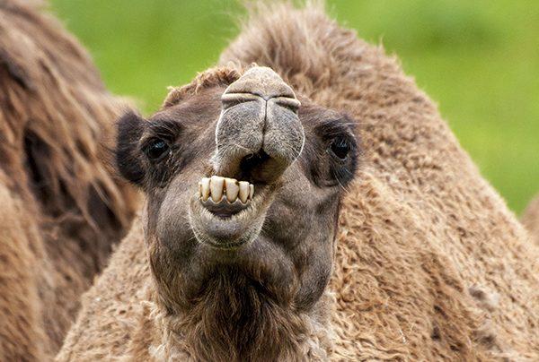 Camel's Teeth